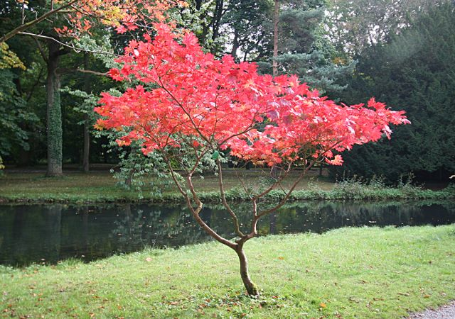 hortikultura.mk_japonski_javor_4