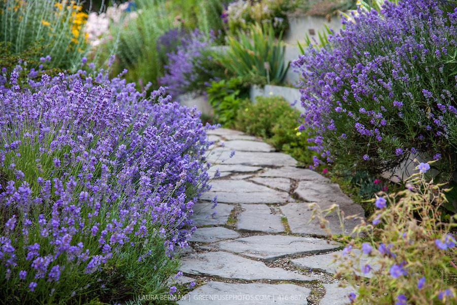 Munstead English lavender