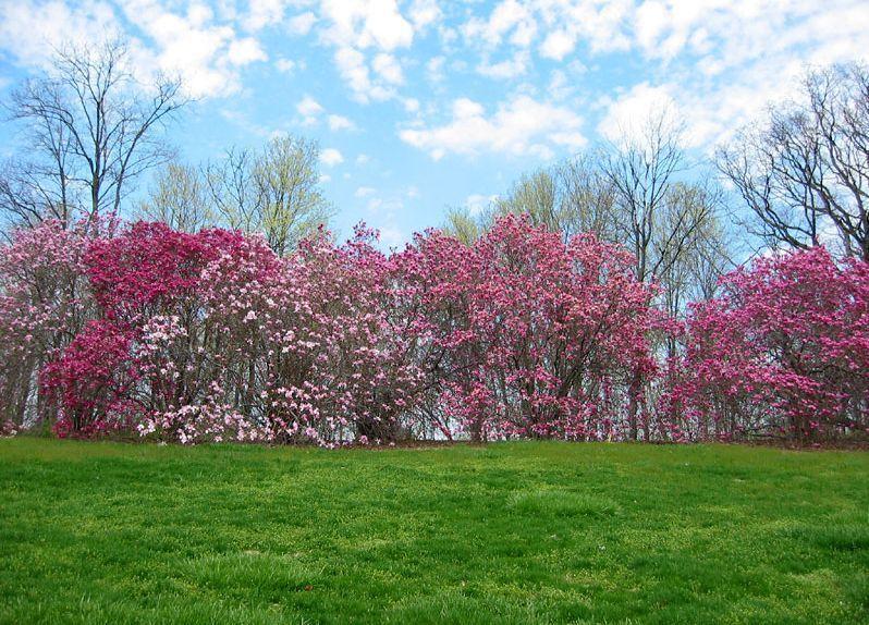 hortikultura.mk_magnolija_3