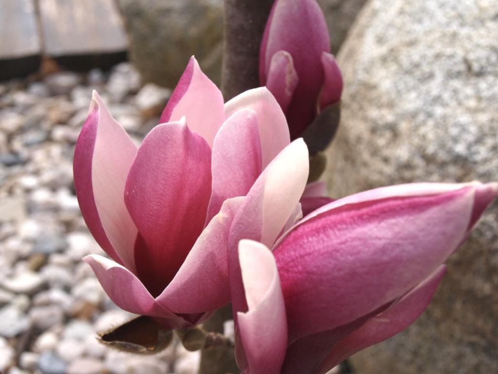 hortikultura.mk_magnolija_4