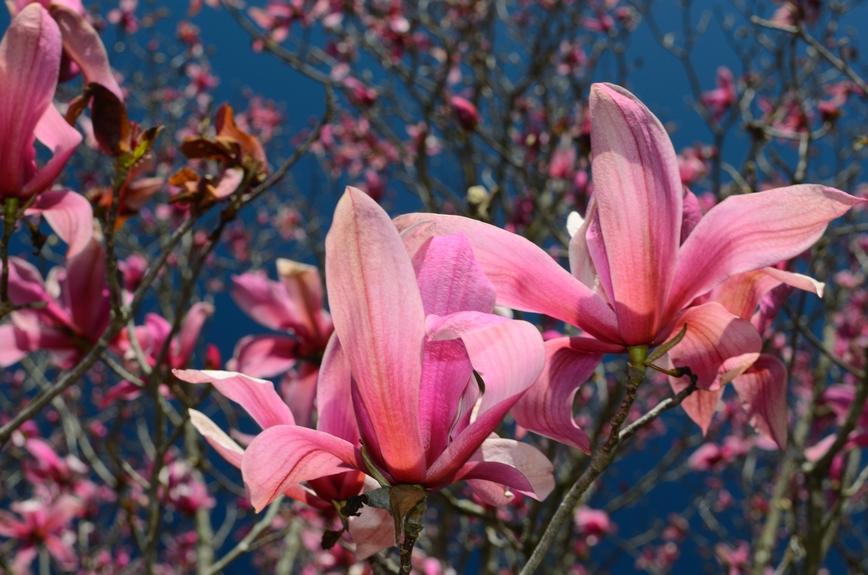 Purple Magnolia