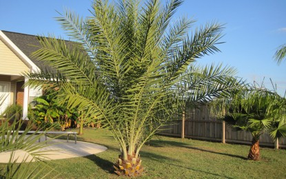 Урмина палма (Phoenix dactylifera)