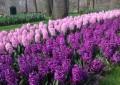 ЗУМБУЛ (Hyacinthus)