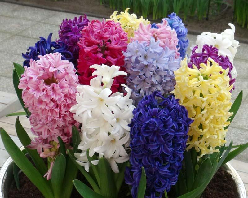 hortikultura.mk_zumbul_hyacinthus_2