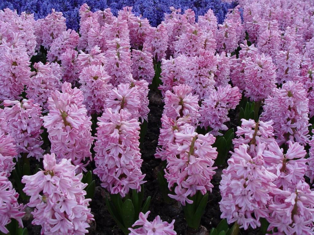 hortikultura.mk_zumbul_hyacinthus_4