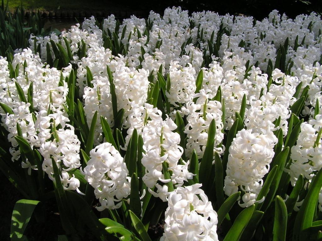 hortikultura.mk_zumbul_hyacinthus_5