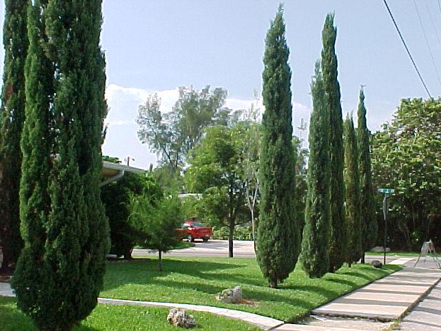 hortikultura.mk_mediteranski_cempres_5