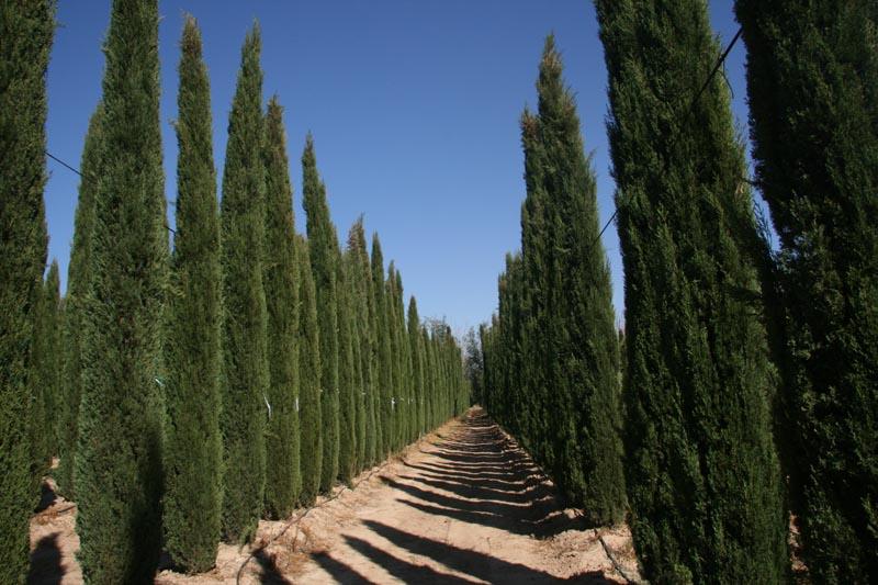 hortikultura.mk_mediteranski_cempres_8