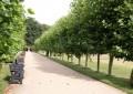 Јаворолистен платан: Симбол на градските паркови