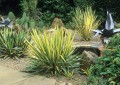 АДАМОВА ИГЛА (Yucca filamentosa)