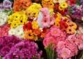 ГЕРБЕР – Чудесен цвет