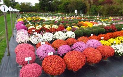 ХРИЗАНТЕМА: Цвеќе на радост и среќа