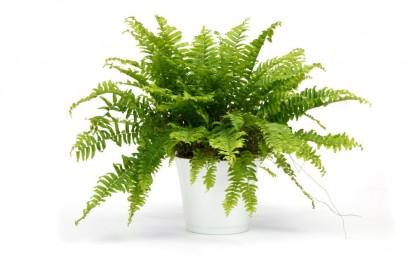Nephrolepis – папрат како собно растение