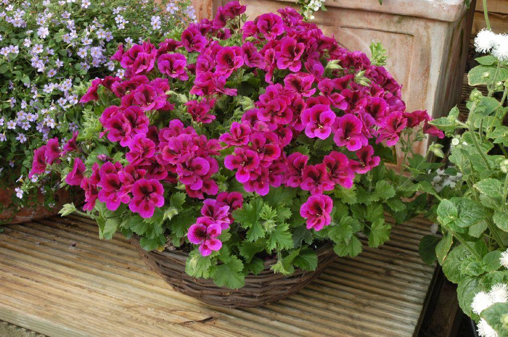 hortikultura.mk_pelargonium_sardela_2