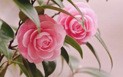 Кралица на цвеќињата: КАМЕЛИЈА