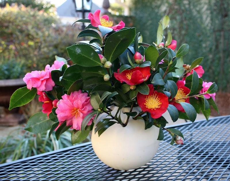 hortikultura.mk_camellia_2