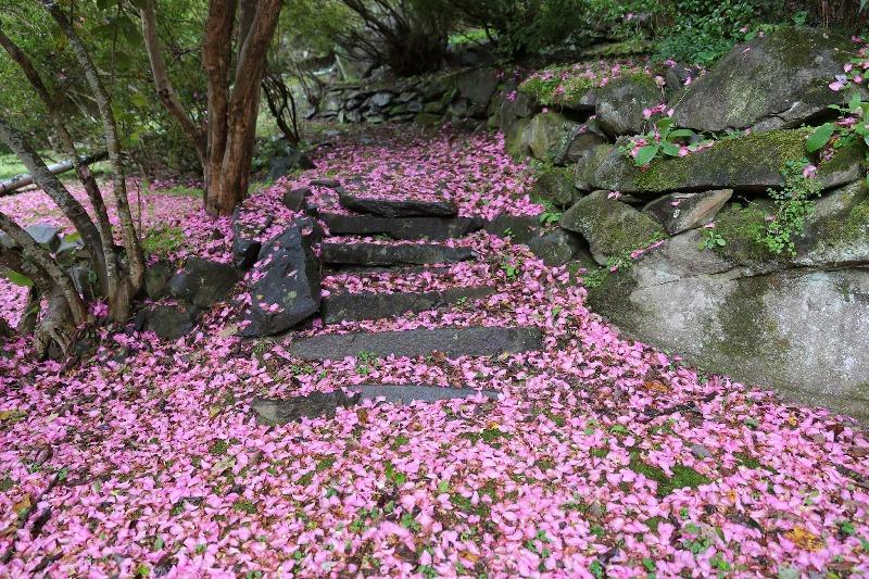 hortikultura.mk_camellia_4