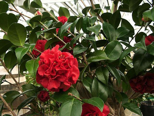 hortikultura.mk_camellia_6