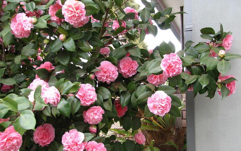 hortikultura.mk_camellia_7