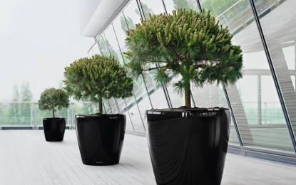 ЦРН БОР (Pinus nigra)
