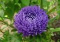 Убава Ката – цвеќе со пријатен мирис