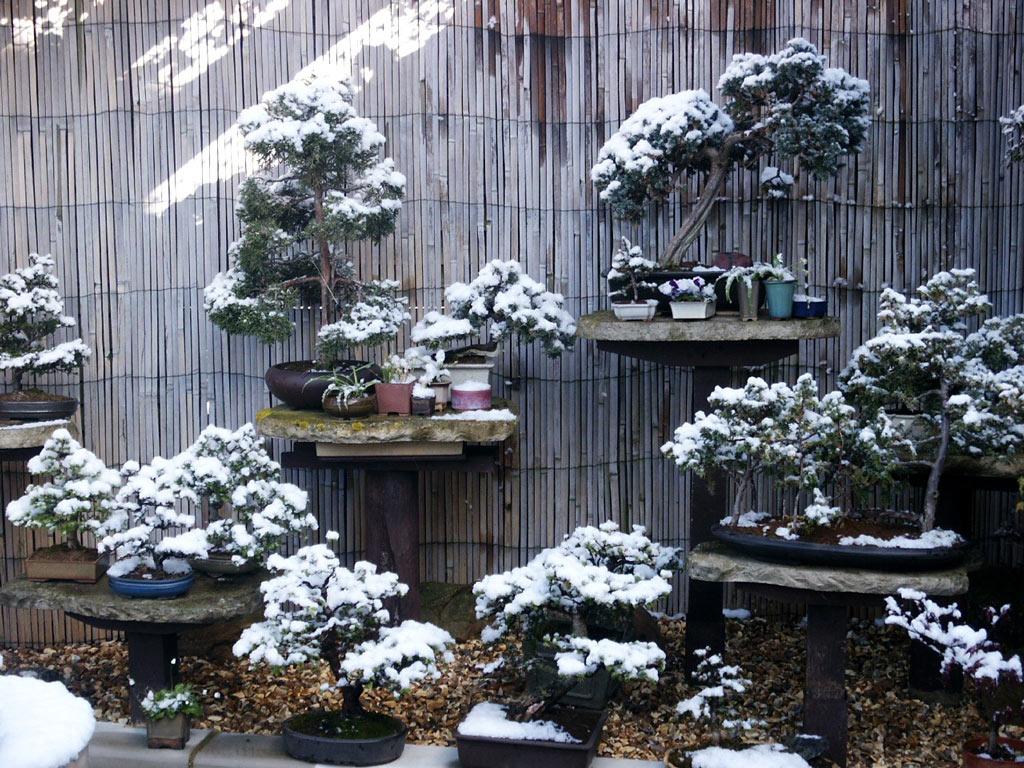 hortikultura.mk_zastita_na_bonsai_vo_zima_2