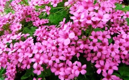 Розева детелина