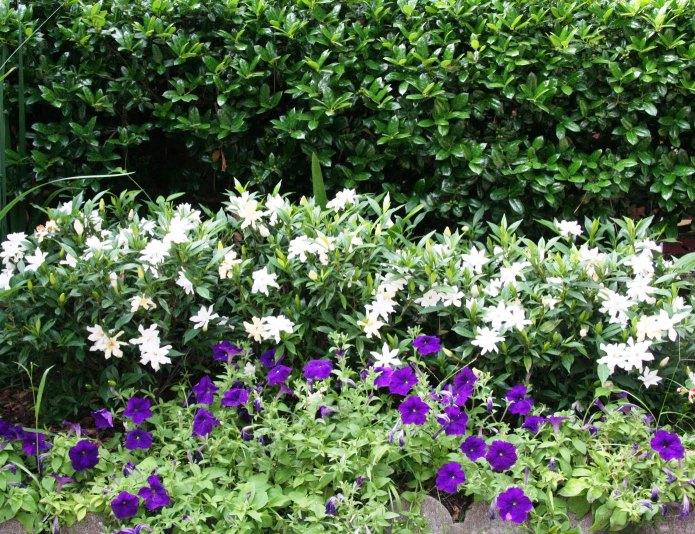 hortikultura.mk_gardenia_3