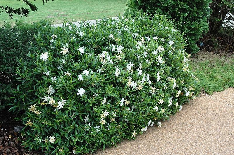 hortikultura.mk_gardenia_4