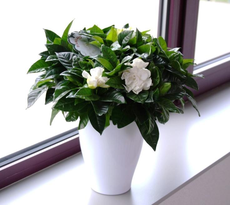 hortikultura.mk_gardenia_6