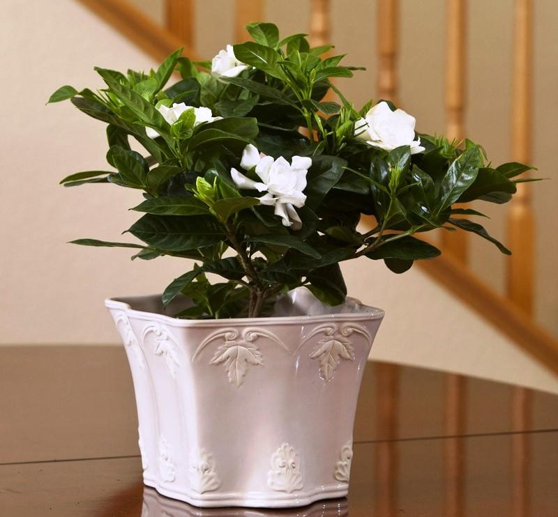 hortikultura.mk_gardenia_7
