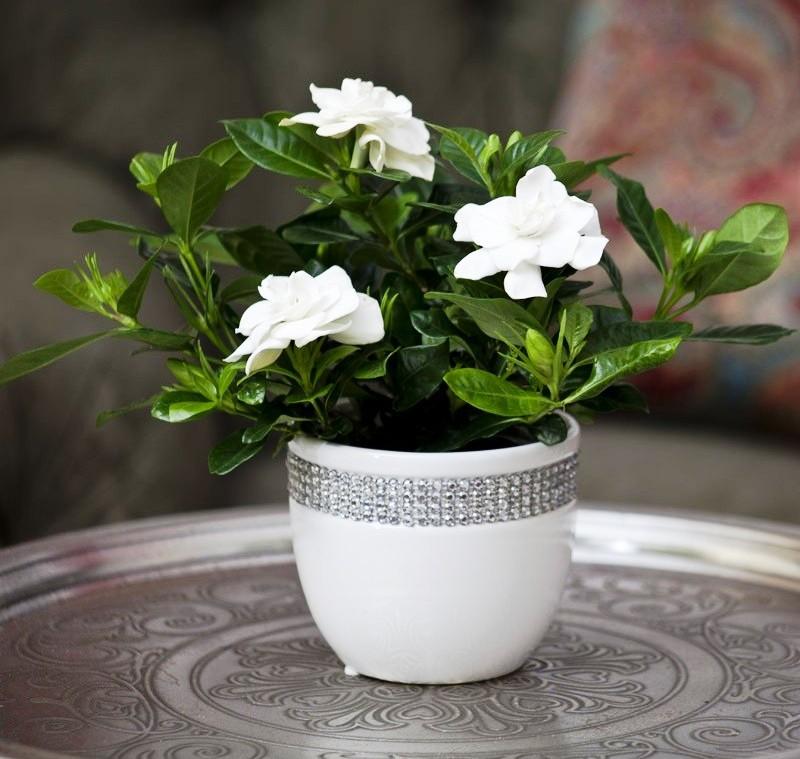 hortikultura.mk_gardenia_8