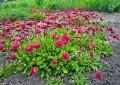 Маргаритка – идеална за цветни декорации