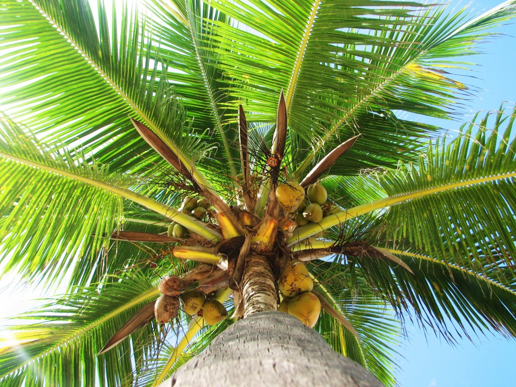 hortikultura.mk_kokosova_palma_5