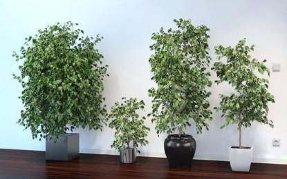 Бенџамин – најпознатото собно тропско растение