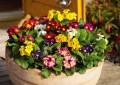 Примулата како декоративно цвеќе