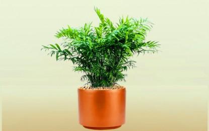 Запознајте се со палмата на среќата | Прекрасна салонска палма