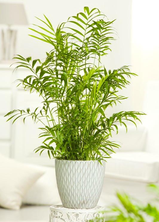 hortikultura.mk_chamaedorea _elegans_palma_1