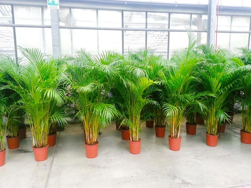 hortikultura.mk_chamaedorea _elegans_palma_4