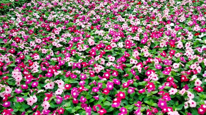hortikultura.mk_vinca_6