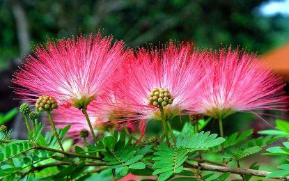 Свиленкастите цветови на албицијата