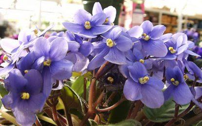 Африканска темјанушка │ Декоративно цвеќе за ентериери