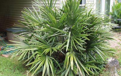Бодликава палма – најотпорната палма во зима