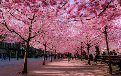 Најценетото дрво во Јапонија │ Јапонска цреша