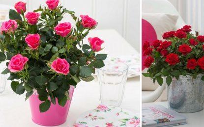 Како да одгледувате рози во саксии?