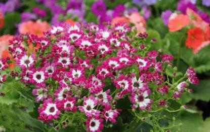 Цинерарија │ Собно цвеќе што цвета напролет