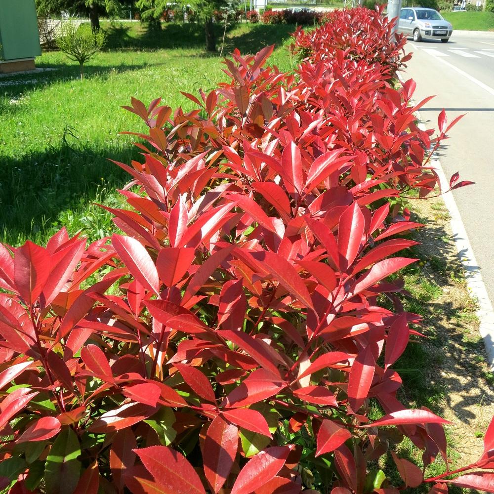 - Photinia serrulata red robin ...