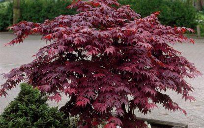 Јапонски јавор Acer palmatum 'Bloodgood'