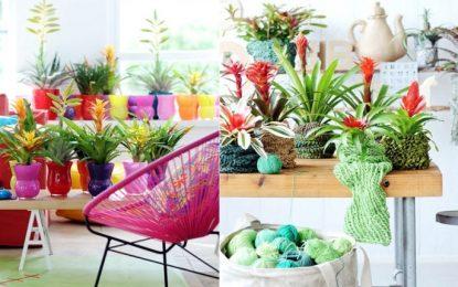 Бромелија во саксија – собно цвеќе од тропските предели