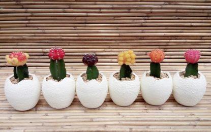 Како правилно се размножуваат кактусите и сукулентите?